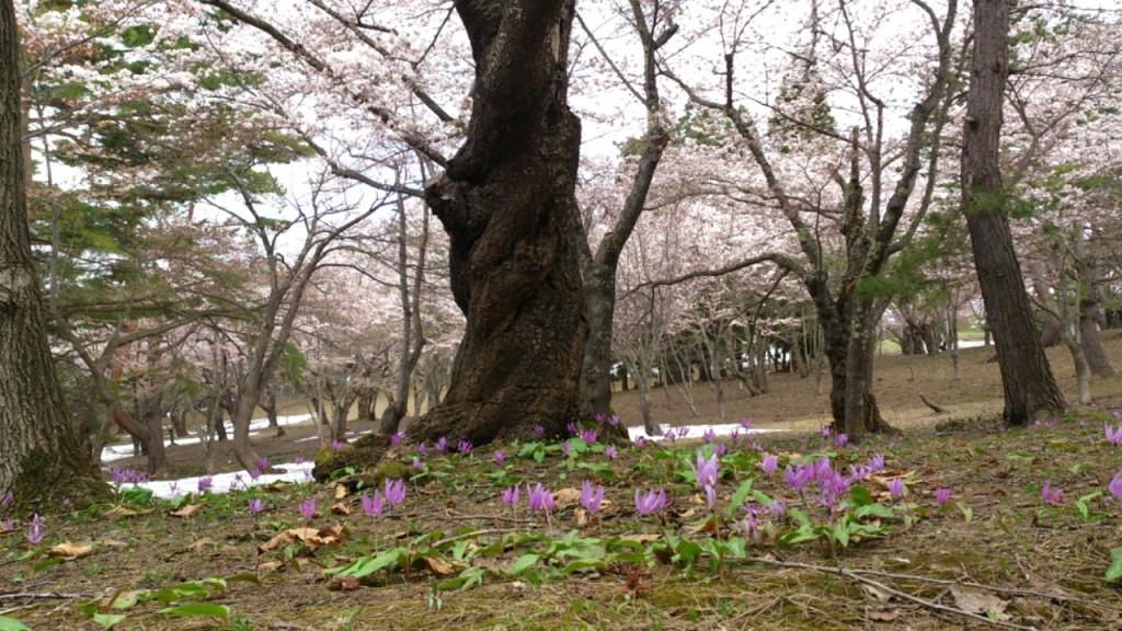 dairoku 五月 桜林