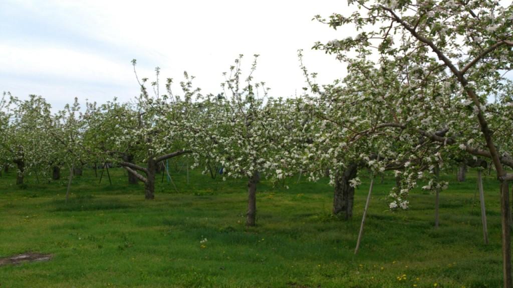 2014 林檎の花 DAIROKU