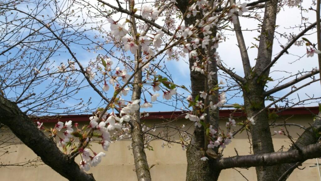 dairoku shimizumori sakura