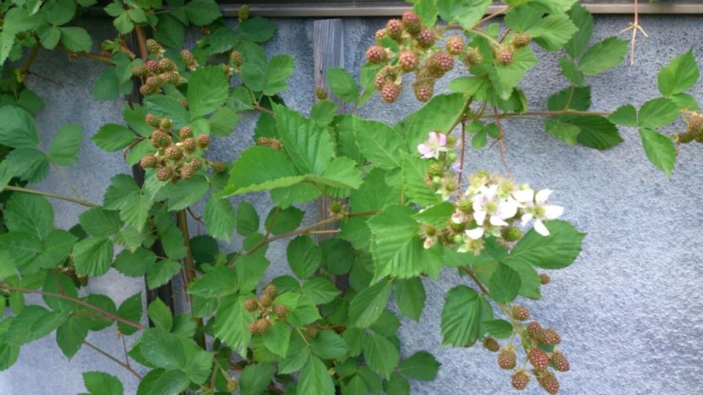 2015 6月 dairoku blackberry