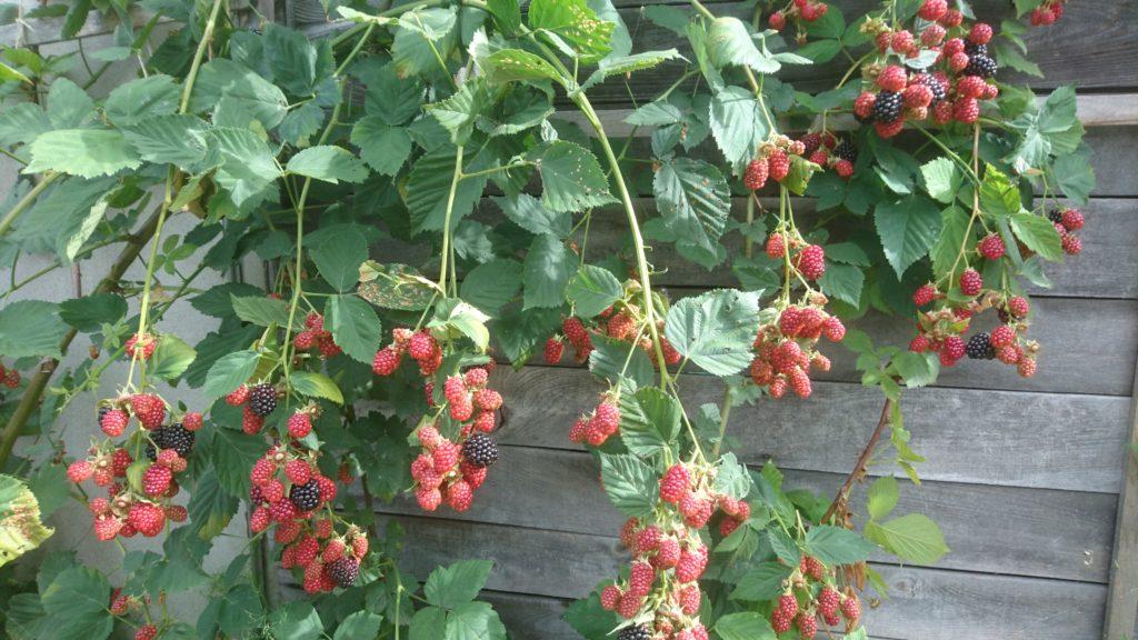 dairoku 2017 8 black berry toriage