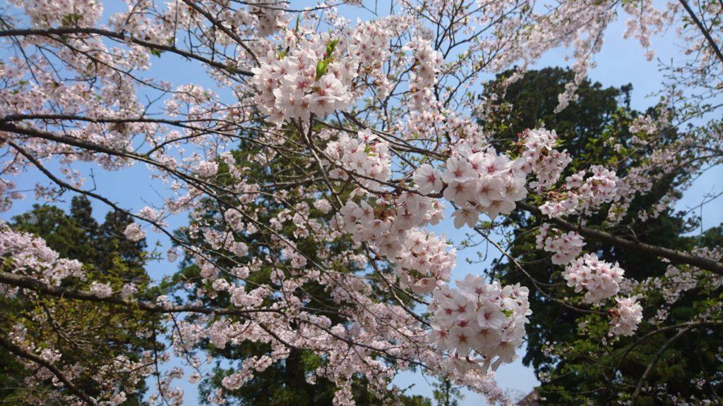 dairoku 2018 5 sakura sakura