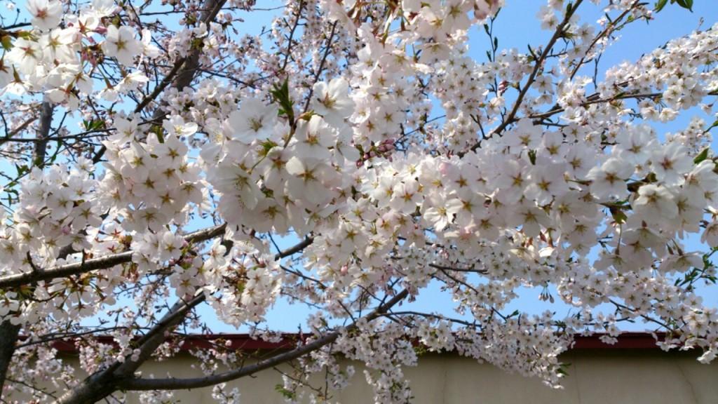 だいろく工房庫 桜