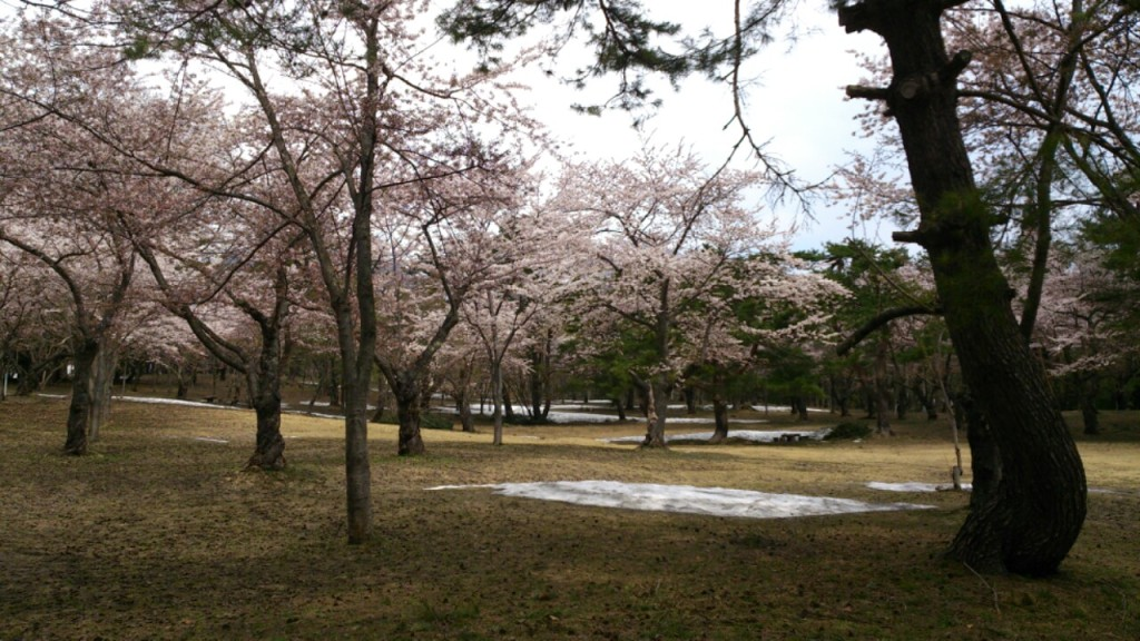 dairoku 五月の桜林