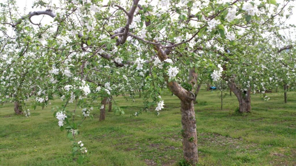 りんご園 満開 DAIROKU