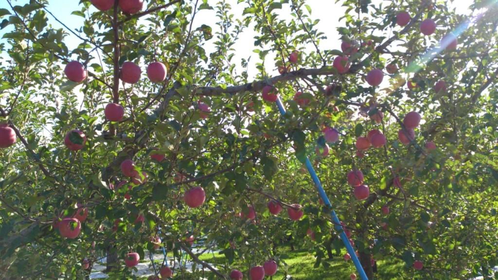 dairoku 2015 shimizumori apple