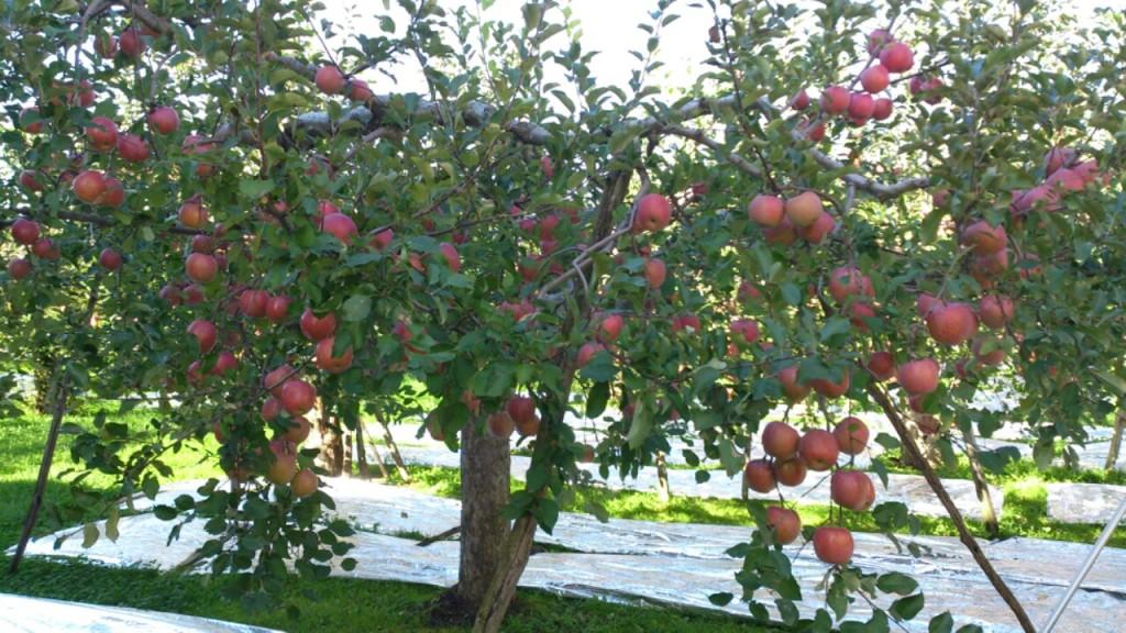 dairoku 2015 10 shimizumori apple
