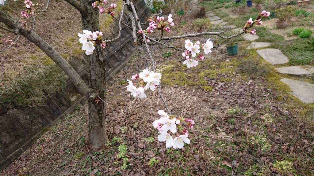 dairoku 2016 4 nagaoka sakura