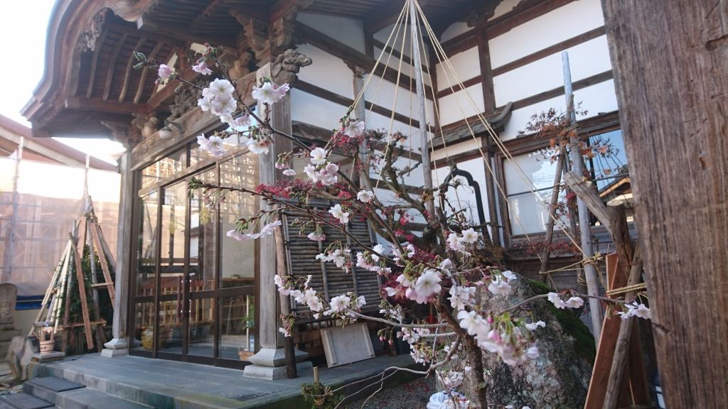 dairoku 2016 11 shodenji sakura