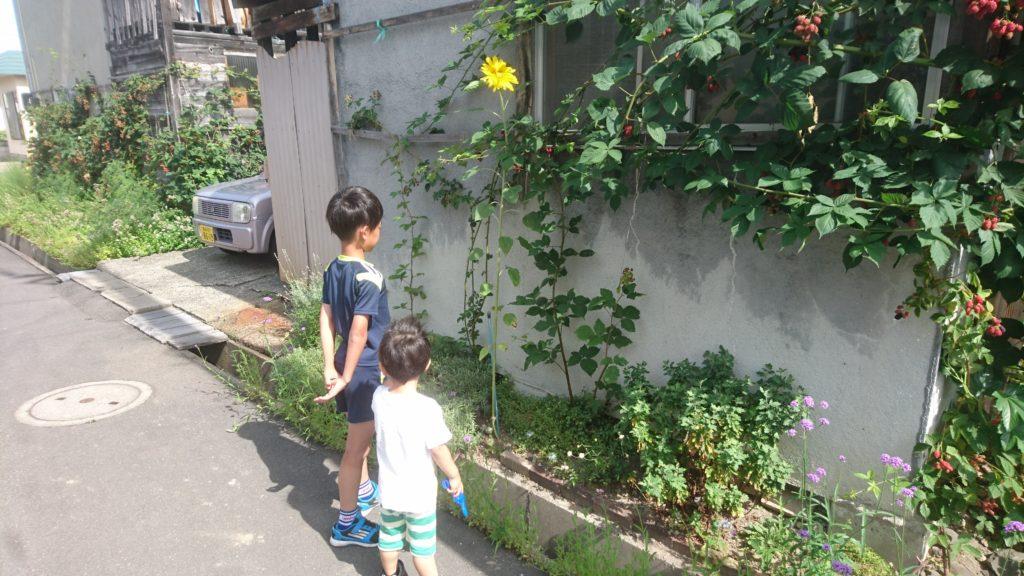 dairoku 2017 7 himawari 3