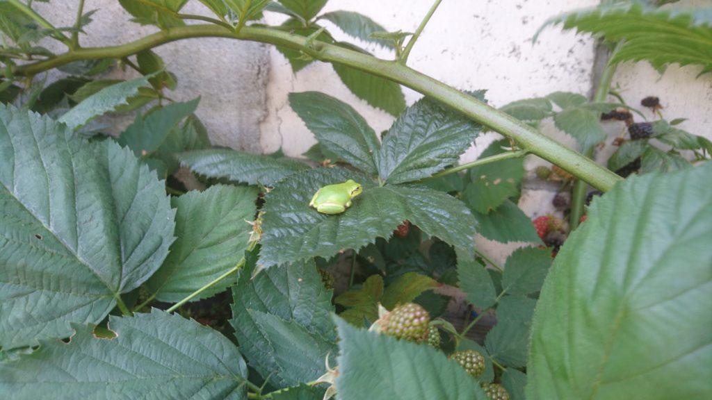 dairoku 2017 8 berry frog