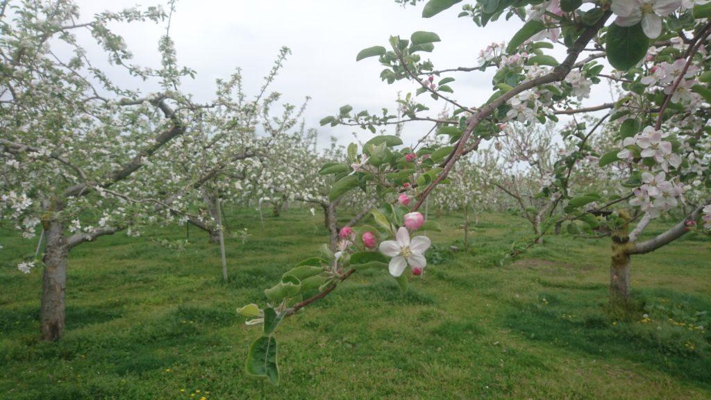 2018 5 dairoku apple flower